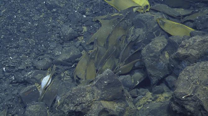 심해 열수구 주변에 알주머니들이 놓여져 있다 - Charles Darwin Research Station 제공